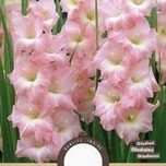 Gladiolus Rose Supreme