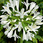 Agapanthus White (Large Pack)
