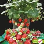Strawberry Temptation (semi-large fruited)