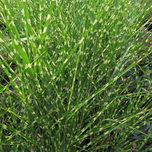 Chinese Silver Grass 'Strictus Dwarf' (Miscanthus)