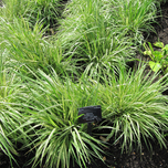 Purple Moor-grass 'Variegata' (Molinia) (Six-pack)