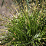 Ornamental Grass Sedge 'Variegata' (Carex) (Six-pack)
