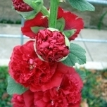 Hollyhock 'Red' (Alcea Rosea)