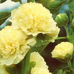 Hollyhock Yellow - Alcea Rosea