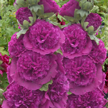 Hollyhock 'Purple' (Alcea Rosea)