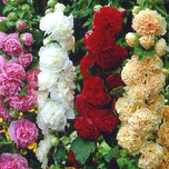 Hollyhock Mix - Alcea Rosea (Six-pack)