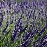 Lavender hedge 2 meter (Hidcote Six-pack)