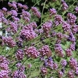 Purpletop Vervain 'Lollipop' (Verbena)  Six-pack