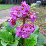 Elephant-eared saxifrage (Bergenia) Six-pack