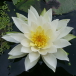 Water lily white (Nymphaea Alba)