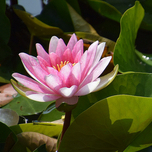 Water lily pink (Nymphaea)