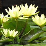 Water lily yellow - Nymphaea