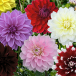 Dahlia Decorative Mixed