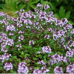 Creeping or Wild Thyme (Sixpack)