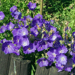 Bellflower 'Blue Clips' (Campanula) Six-pack