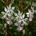 Lindheimer's Beeblossom 'Whirling Butterflies' (Gaura) Six-pack