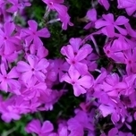 Subulata Purple Beauty - Creeping Phlox (Six-pack)