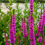 Lythrum Salicaria 'Rosy Gem' - Purple Loostrife