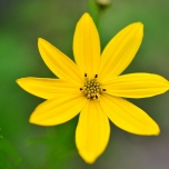 Coreopsis Verticillata 'Moonbeam' - Tickseed