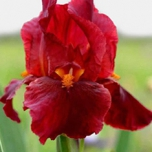 Iris Germanica Red Zinger