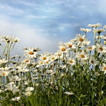 Leucanthemum Maikonigin - Ox-eye daisy