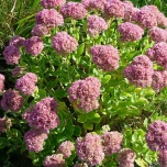 Sedum Spectabile Matrona Tuincentrum Koeman