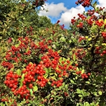 Cotoneaster Suecicus 'Coral Beauty' - Bearberry