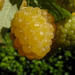 Rubus Raspberry Yellow Tuincentrum Koeman