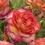 Rosa Two Colors – Rose