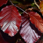 Fagus Sylvatica Red - Common / Copper Beech hedge 10x