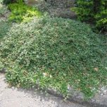 Cotoneaster Dammeri – Bearberry