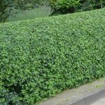 Oval leaf privet - Ligustrum ovalifolium hedge 100x