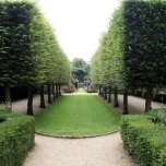Common Hornbeam - Carpinus Betulus hedge 100x
