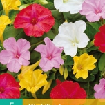 Mirabilis Jalapa (Four o'clock Flower or Marvel of Peru) Mix