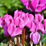 Cyclamen Hederifolium - Ivy-leaved Cyclamen