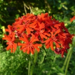 Lychnis chalcedonica - Rose Campion (Three-pack)