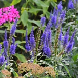 Veronica Longifolia Blauriesin - Speedwell (Three-pack)