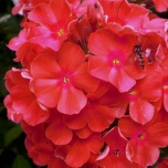 Phlox Paniculata Orange Perfection (Six-pack)
