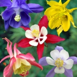 Aquilegia Mix - Columbine (Three-pack)