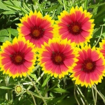 Blanket Flower Kobold - Gaillardia (Three-pack)