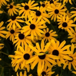 Orange Coneflower Goldsturm - Rudbeckia (Three-pack)