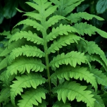 Sensitive Fern - Onoclea Sensibilis (Six-pack)