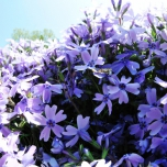 Phlox Emerald Cushion Blue - Creeping Phlox (Six-pack)