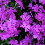 Phlox Subulata Purple Beauty - Creeping Phlox (Three-pack)