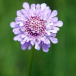 Scabiosa caucasica Perfecta - Scabious (Three-pack)