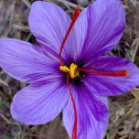 Saffron Crocus Large Pack XL