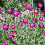 Lychnis Coronaria - Rose Campion (Three-pack)