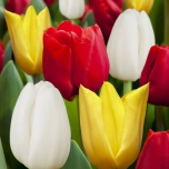 Tulip mix Red, Yellow & White –  10 bulbs