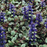 Common bugle Burgundy Glow - Ajuga