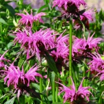 Bee Balm Prärienacht - Monarda (Three-pack)